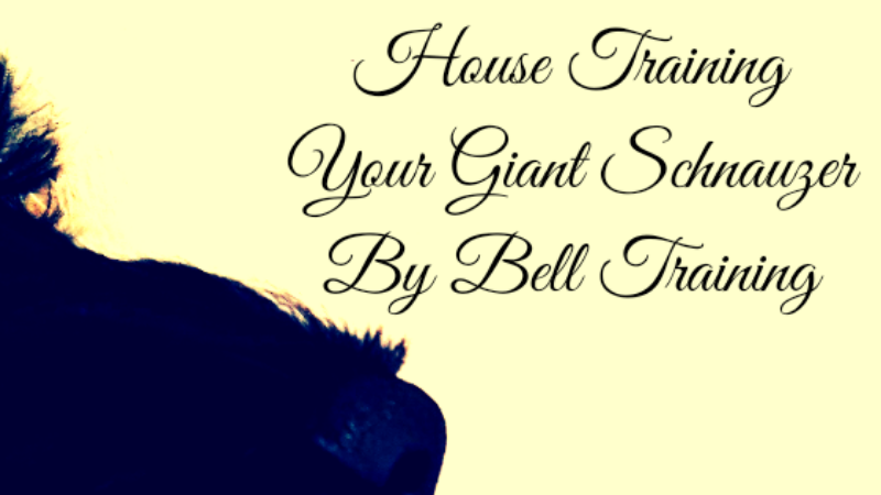 House Training by Bell-Training your Giant Schnauzer