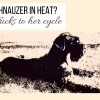 Giant Schnauzer in Heat? I Tips and Tricks to Her Cycle